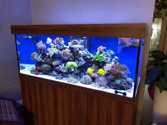 Aquarium Adam-Altamira-walnut-dunkel-Seewasser-Osmose-blau-lackiert-einlegeboden-Friedeberg-Aquarium